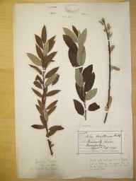 Salix viminalis x caprea = S. x smithiana herbarium specimen from Sprowston, VC27 East Norfolk in 1883.