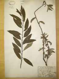 Salix viminalis x caprea = S. x smithiana herbarium specimen from Dawley, VC40 Shropshire in 1894 by Rev William Hunt Painter.