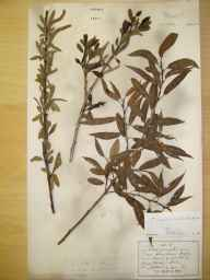 Salix fragilis x triandra = S. x alopecuroides herbarium specimen from Thirsk, VC62 North-east Yorkshire in 1894 by Allan B Hall.