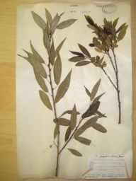 Salix fragilis x triandra = S. x alopecuroides herbarium specimen from Sellack, VC36 Herefordshire in 1904 by Rev. Augustin Ley.