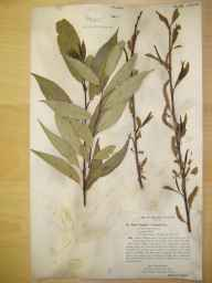 Salix fragilis x triandra = S. x alopecuroides herbarium specimen from Bournemouth, VC9 Dorset in 1897 by Rev. Edward Francis Linton.