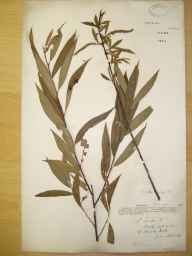 Salix fragilis x alba = S. x rubens herbarium specimen from Bradley Wood, VC57 Derbyshire in 1891 by Rev William Richardson Linton.