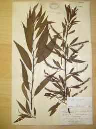 Salix fragilis x alba = S. x rubens herbarium specimen from Saltford, VC6 North Somerset in 1891 by A Fry.