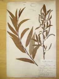 Salix fragilis x alba = S. x rubens herbarium specimen from Corston, VC6 North Somerset in 1891 by David Fry.