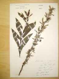 Salix fragilis x alba = S. x rubens herbarium specimen from Thirsk, VC62 North-east Yorkshire in 1937 by Mrs Gertrude Foggitt.