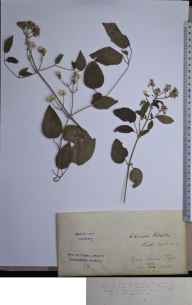 Clematis vitalba herbarium specimen from Bath, VC6 North Somerset in 1855.