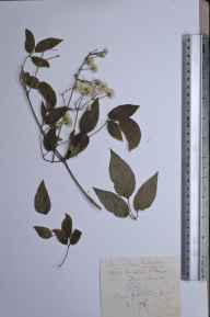 Clematis vitalba herbarium specimen from Broughton, VC54 North Lincolnshire in 1906.