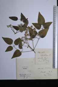 Clematis vitalba herbarium specimen from Crowle, VC54 North Lincolnshire in 1896 by Samuel Hudson.