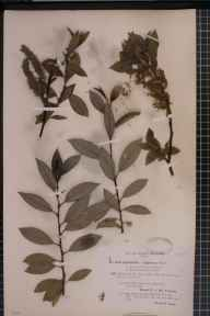 Salix myrsinifolia x phylicifolia = S. x tetrapla herbarium specimen from Ben Lawers, VC88 Mid Perthshire in 1894 by Rev. Edward Francis Linton.