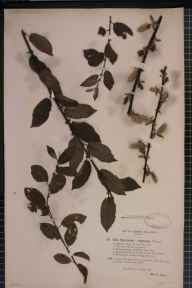 Salix myrsinifolia x myrsinites = S. x punctata herbarium specimen from Shirley, VC57 Derbyshire in 1893 by Rev William Richardson Linton.