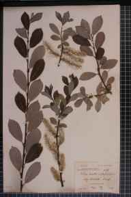 Salix aurita x phylicifolia = S. x ludificans herbarium specimen from Bournemouth, VC9 Dorset in 1896 by Rev. Edward Francis Linton.