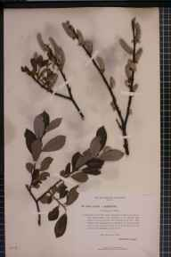 Salix aurita x phylicifolia = S. x ludificans herbarium specimen from Thornhill, New Loch, VC72 Dumfriesshire in 1894 by Mr James Fingland.