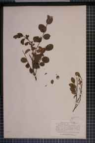 Salix aurita x repens x herbacea = S. x grahamii herbarium specimen collected in 1867 by Rev Leicester Darwall.