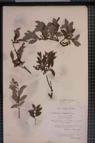 Salix aurita x lapponum = S. x obtusifolia herbarium specimen from Ben Lawers, VC88 Mid Perthshire in 1894 by Rev. Edward Francis Linton.