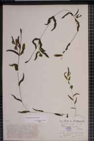 Potamogeton gramineus x perfoliatus = P. x nitens herbarium specimen from Low Wood, VC69 Westmorland in 1913 by Prof William Harold Pearsall.