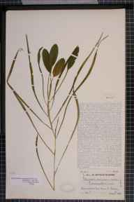 Potamogeton natans x gramineus = P. x sparganiifolius herbarium specimen from Maam, VCH16 West Galway in 1935 by Dr William Arthur Sledge.