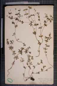 Potentilla erecta x anglica = P. x suberecta herbarium specimen from Menston, VC64 Mid-west Yorkshire in 1906 by H L Craven.