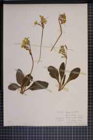 Primula vulgaris x elatior = P. x digenea herbarium specimen from Hardwick Wood, VC29 Cambridgeshire in 1946 by Mrs June R J Mills.