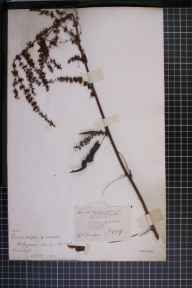 Rumex crispus x obtusifolius = R. x pratensis herbarium specimen from Madresfield, VC37 Worcestershire in 1889 by Mr Richard Francis Towndrow.