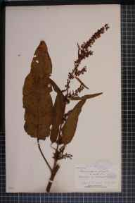 Rumex crispus x obtusifolius = R. x pratensis herbarium specimen from Knockdrin, VCH23 Westmeath in 1895 by Rev William Richardson Linton.