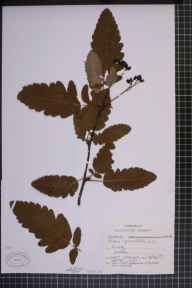 Sorbus thuringiaca f. pinnatifida herbarium specimen from Oving, VC13 West Sussex in 1896.