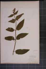 Stachys sylvatica x palustris = S. x ambigua herbarium specimen from Prestwich, VC59 South Lancashire in 1829 by Mr Roberts Leyland.