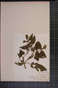 Stachys sylvatica x palustris = S. x ambigua herbarium specimen from Thoralby, VC65 North-west Yorkshire in 1839 by Mr James Ward.