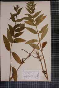 Stachys sylvatica x palustris = S. x ambigua herbarium specimen from Eaton Bishop, VC36 Herefordshire in 1874 by Rev. Augustin Ley.