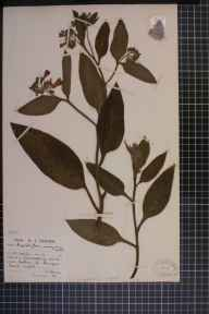 Symphytum officinale x asperum = S. x uplandicum herbarium specimen from Oglet, VC59 South Lancashire in 1945 by Mr Arthur John Farmer.