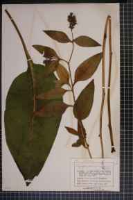 Symphytum officinale x asperum = S. x uplandicum herbarium specimen from Birkdale, VC59 South Lancashire in 1907 by Mr Charles Bailey.