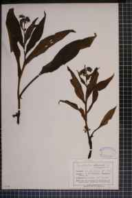 Symphytum officinale x asperum = S. x uplandicum herbarium specimen from Sefton Park, VC59 South Lancashire by Mr John Harbord Lewis.