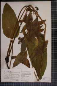 Symphytum officinale x asperum = S. x uplandicum herbarium specimen from Southport, VC59 South Lancashire in 1907 by Mr Charles Bailey.