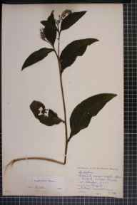 Symphytum officinale x asperum = S. x uplandicum herbarium specimen from Lindow Common, VC58 Cheshire in 1954 by Dr Effie Moira Rosser (The Manchester Museum).