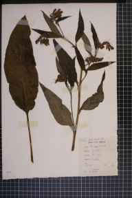 Symphytum officinale x asperum = S. x uplandicum herbarium specimen from Styal, VC58 Cheshire in 1963 by Prof John Norton Mills.