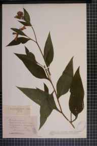 Symphytum officinale x asperum = S. x uplandicum herbarium specimen from Ballingham, VC36 Herefordshire in 1900 by Rev. Augustin Ley.