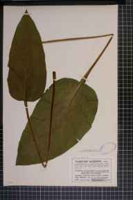 Symphytum officinale x asperum = S. x uplandicum herbarium specimen from Southam, VC33 East Gloucestershire in 1910 by Mr Charles Bailey.
