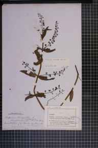 Veronica anagallis-aquatica x catenata = V. x lackschewitzii herbarium specimen from Banks of the Wreake, VC55 Leicestershire in 1881 by Mr Frederick Thompson Mott.