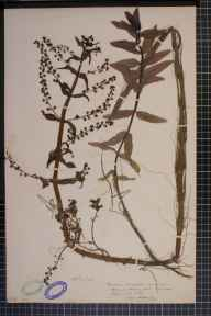 Veronica anagallis-aquatica x catenata = V. x lackschewitzii herbarium specimen from Conisbrough, VC63 South-west Yorkshire in 1906 by H L Craven.