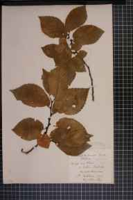 Ulmus glabra x minor x plotii = U. x hollandica herbarium specimen from Eaton Bishop, VC36 Herefordshire in 1883 by Rev. Augustin Ley.