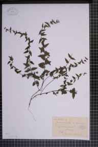 Scutellaria galericulata x minor = S. x hybrida herbarium specimen from Virginia Water, VC17 Surrey in 1884 by Mr George Nicholson.