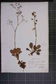 Saxifraga umbrosa x spathularis = S. x urbium herbarium specimen from Dingle, Kerry in 1805 by James Townsend MacKay.