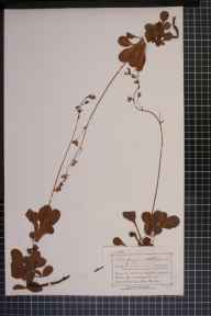 Saxifraga umbrosa x spathularis = S. x urbium herbarium specimen from Glen Sannox, VC100 Clyde Islands in 1877 by Mr Charles Bailey.