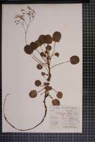 Saxifraga umbrosa x hirsuta = S. x geum herbarium specimen from Chapel-le-Dale, VC64 Mid-west Yorkshire in 1890 by Rachel Ford Thompson.