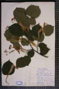 Tilia platyphyllos x cordata = T. x europaea herbarium specimen from Snarestone, VC55 Leicestershire in 1962 by Susan Amis.