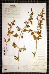 Atriplex prostrata x glabriuscula herbarium specimen from Barmston, VC61 South-east Yorkshire in 1978.