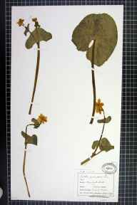 Caltha palustris var. guerangerii herbarium specimen from Castle Mill, VC58 Cheshire in 1899 by Mr Charles Bailey.