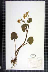 Caltha palustris var. guerangerii herbarium specimen from Ashley, VC58 Cheshire in 1873 by Mr Charles Bailey.