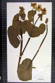 Caltha palustris var. guerangerii herbarium specimen from Holford Moss, Plumbley, VC58 Cheshire in 1878 by Mr Charles Bailey.