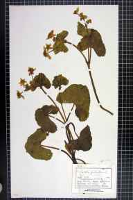 Caltha palustris var. guerangerii herbarium specimen from Mobberley, VC58 Cheshire in 1882 by Mr Charles Bailey.