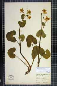 Caltha palustris var. guerangerii herbarium specimen from Saint Georges, VC41 Glamorganshire in 1933 by Mr Colin Melville.